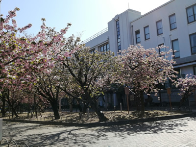 『通り抜け』で有名な造幣局の八重桜